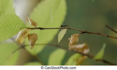 Trap-Jaw Ant and Weaver Ant crawling on a branch in slow...
