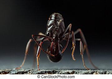 "Trap jaw ant ""Odontomachus bauri"" super macro photo."