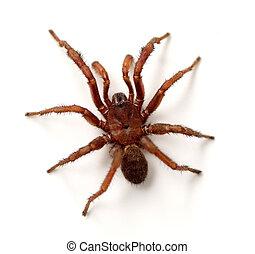 Trapdoor Spider (Cyrtaucheniidae) isolated on white background.