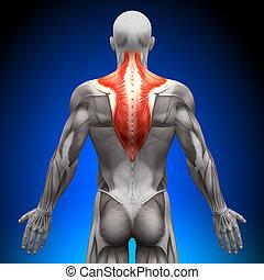 trapezius, -, anatomía, músculos