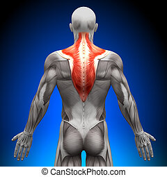 trapezius, anatomia, músculos, -