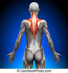 trapezius, anatomia, músculos, -, femininas
