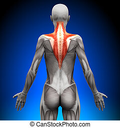 trapezius, anatomie, muscles, -, femme