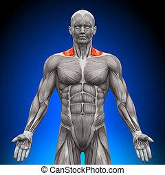 trapezius, frente, /, nech, músculos, -, um