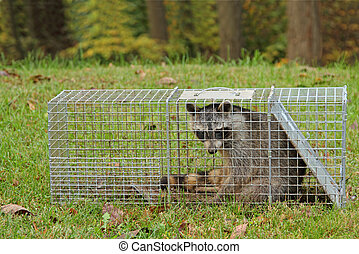 Trapped Raccoon, Procyon lotor - Raccoon, Procyon lotor,...