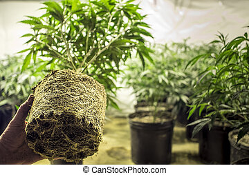 trasplante, planta, raíces, marijuana
