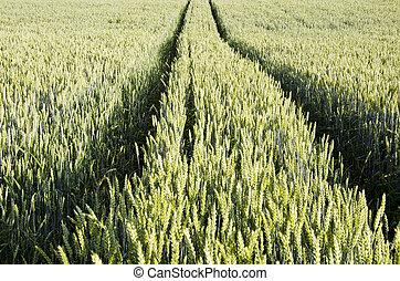 trator, trilhas, esquerda, em, agrícola, trigo, field.