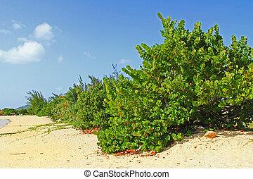 traube, meer, bäume, antigua, entlang, sandstrand