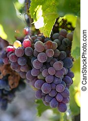 traube, produktion, schwarz, spanien, rotwein