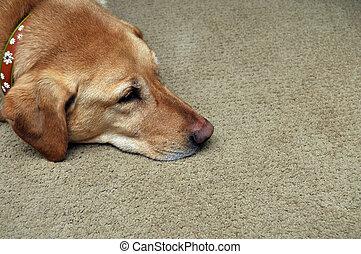 traurige , gelbes labor, liegende , auf, teppich