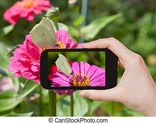 tourist taking photo of butterfly Brimstone - travel concept...