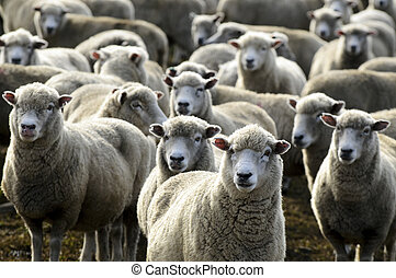 Travel New Zealand - Sheep Farm - Flock of sheep, New ...