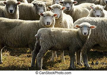Travel New Zealand - Sheep Farm