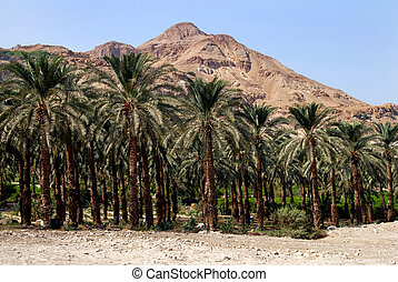Travel Photos of Israel - Ein Gedi Spring - Plantation of...