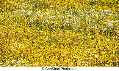 white and yellow chamomile flowers on meadow