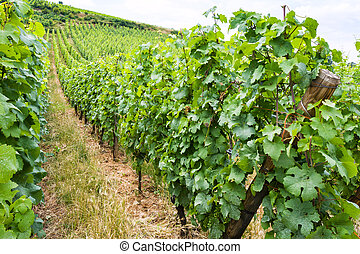 vineyard in region of Alsace Wine Route in summer