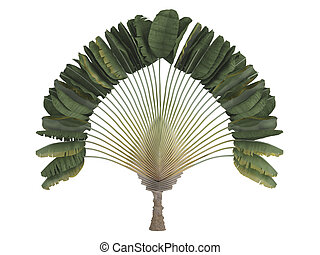Traveler's palm or latin Ravenala madagascariensis isolated on white background