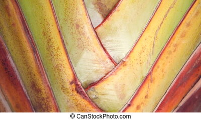 Travelers Palm tree close up - The enormous paddle-shaped...