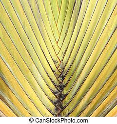 Beautiful shape of Travelers Palm Tree leaves (Ravenala madagascariensis)