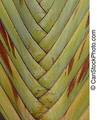 Traveler's Tree Texture (Ravenala madagascariensis) In Mauritius Island