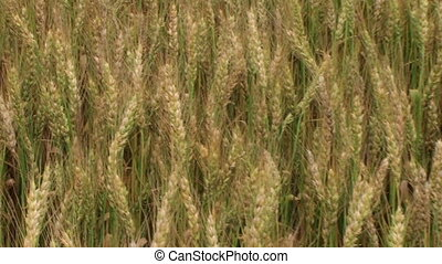 Traveling Through Wheat Field 02 - Traveling through wheat...