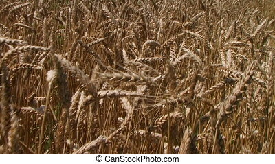 Traveling Through Wheat Field - Traveling through wheat...