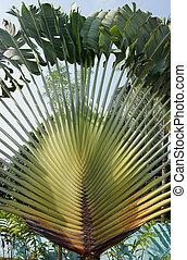 Traveller´s tree, Ravenala madagascariensis, Sao Tome, Africa
