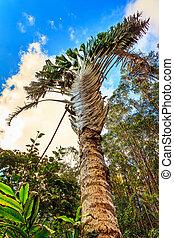 Traveller's Palm (Ravenala madagascariensis) in Madagascar.