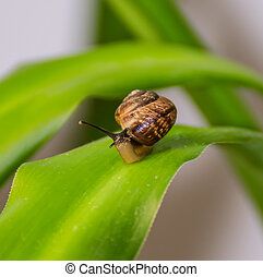 Travelling of curious snail on a leaf