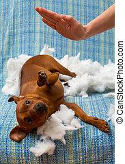 travesso, mordida, após, cão, punido, filhote cachorro, travesseiro