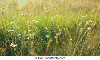 trawa, łąka, zachód słońca