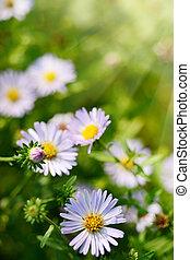 trawa, camomile, zielony, stokrotka, kwiaty, albo