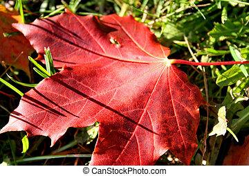 trawa, liść, klon, czerwony