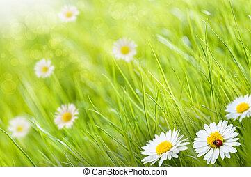 trawa, tło, z, margerytki, kwiaty, i, jeden, biedronka, to,...