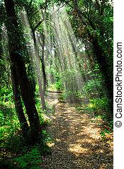 trayectoria, bosque, iluminado por el sol