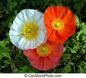 tre, blomningen