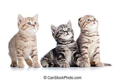 tre, litet, katter, kattungar, sett upp, isolerat, vita, bakgrund