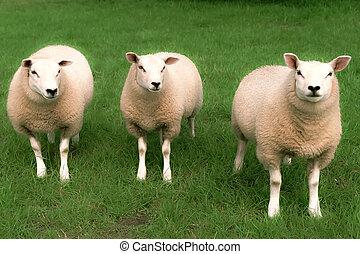 tre, sheep