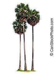 tre, träd, isolerat, palm, bakgrund, vit