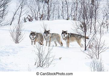tre, vargar, in, den, snö