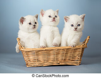 tre, vit, brittisk, kattungar, in, korg