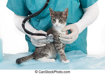 treatment at the veterinary - little grey tiger kitten at...