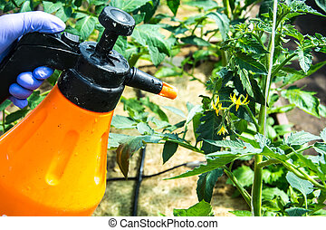 Treatment of tomato from pests and diseases