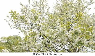 tree., большой, вишня, цветок, весна