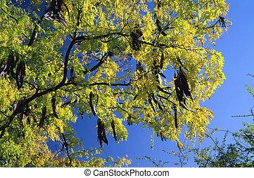 tree; Acacia