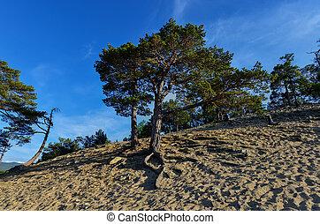 Tree along Sandy Beach of Olkhon Island