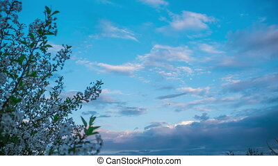 Tree and clouds in timelapse clouds float across the sky, time lapse sunset, flowering tree against the sky with clouds spring landscape garden trees bloom, nature wakes up after winter fruit blooming garden, pink clouds at sunset speed shooting bees animals birds grass trees