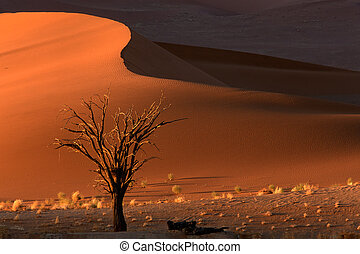 Tree and dune - Dead camel thorn tree (Acacia erioloba) and ...