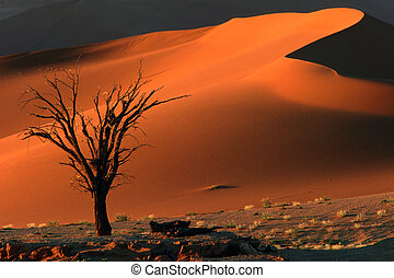 Tree and dune - Dead camel thorn tree and dune, late...