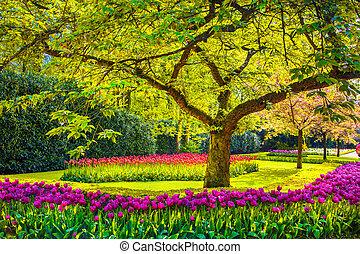 Tree and tulip flowers in spring garden. Keukenhof, Netherlands, Europe.